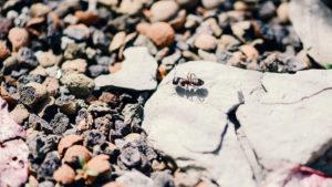 Nahaufnahme Ameise Ausgleichsfläche Kies
