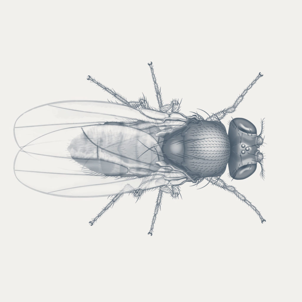 Fruit fly scientific illustation technical