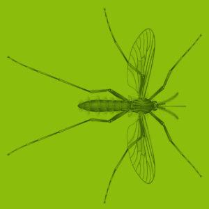 Steckmücke Illustration Wissenschaftlich