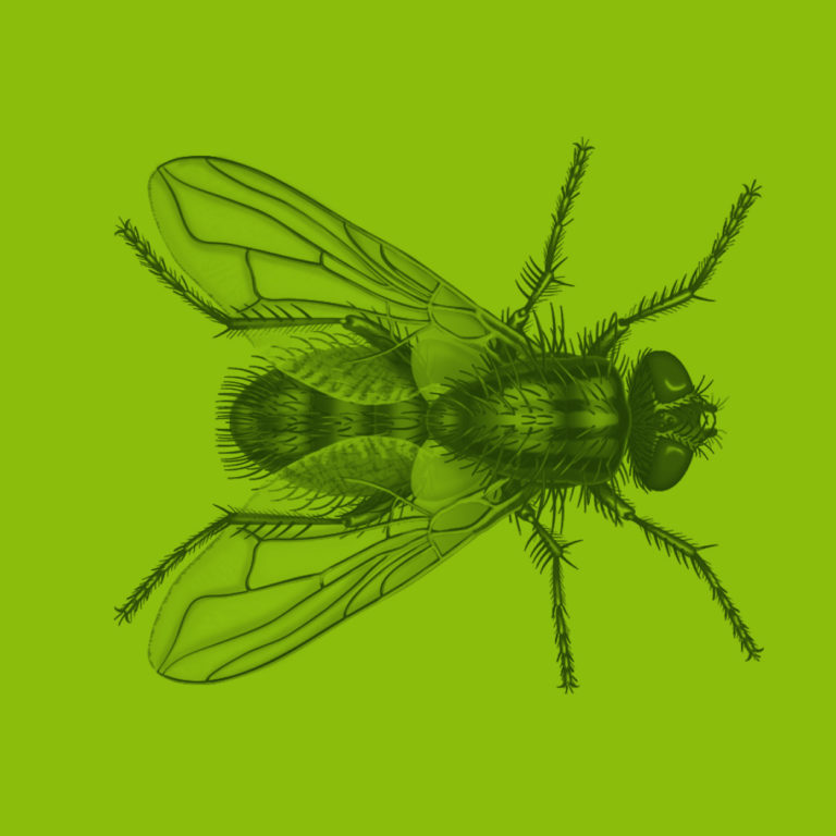 housefly illustration