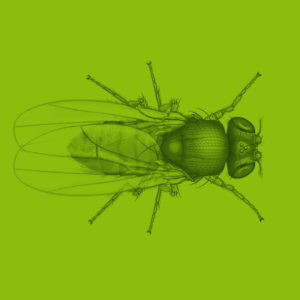 Fruit fly scientific illustation technical